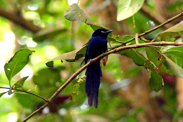 ladigue-paradise-flycatcher-RyOLs72S